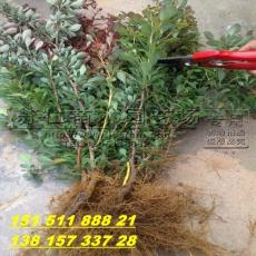 紅葉小檗綠籬苗多少錢一棵