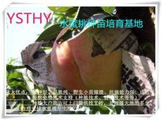 2014阳山水蜜桃树苗10/颗 两年生 大桃树