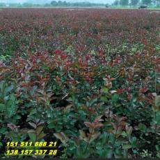 红叶紫薇小苗价格
