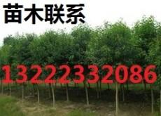 棕榈苗木 棕榈苗木报价