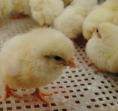 冀祥牧業石家莊青年雞價格