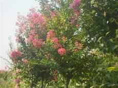 江苏紫薇树生产基地供应商