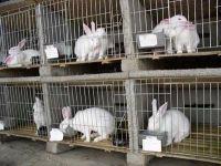 出售獺兔 安哥拉長毛兔 比利時兔等