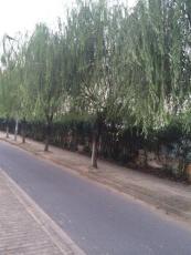 出售20公分粗度垂柳行道树