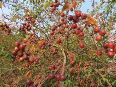5公分西府海棠树苗 季风园艺场 图 西